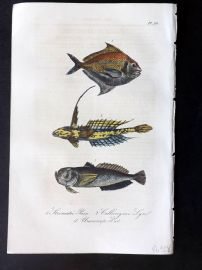 Lacepede 1840 Hand Col Fish Print. Butterfish etc 50